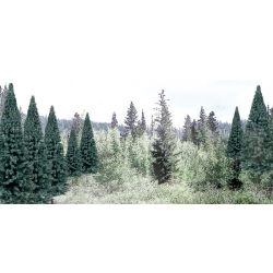 """2"""" - 4"""" Ready Made Blue Spruce Value Pack (18 / Pk)"""